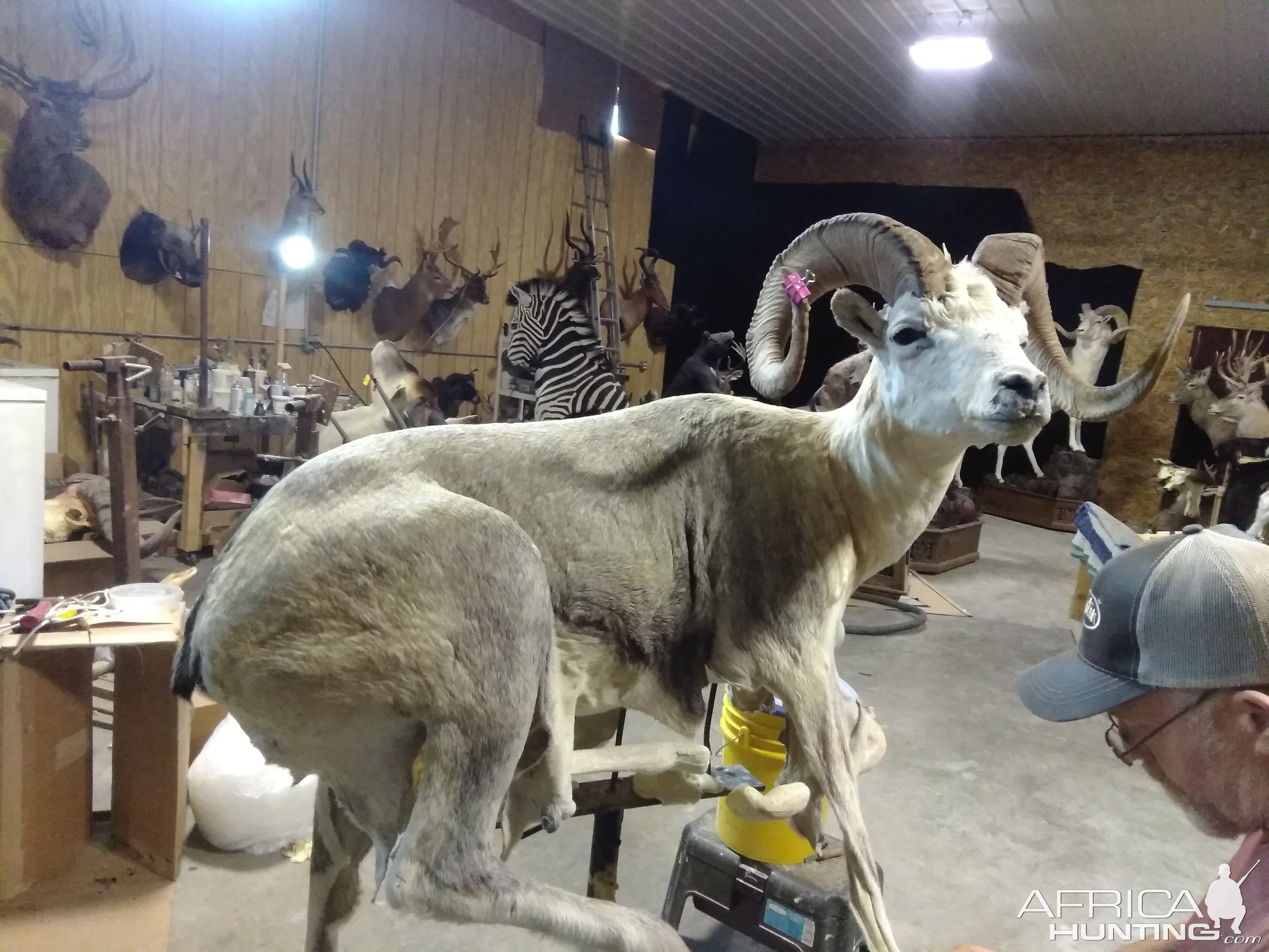 Fannin Sheep Full Mount Taxidermy