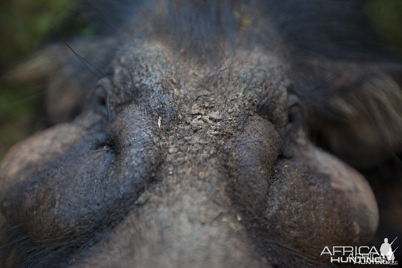 Giant Forest Hog face close up...