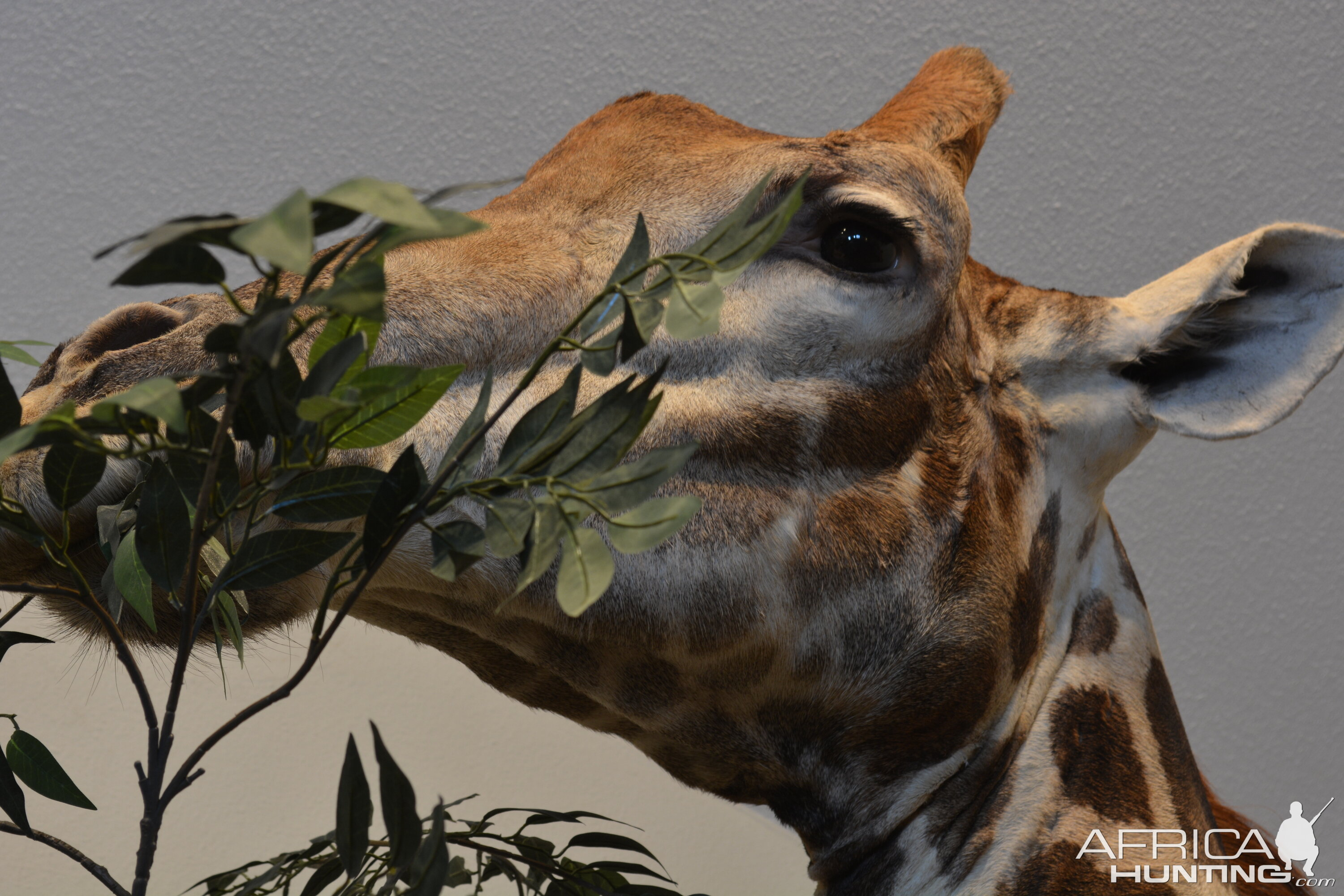 Giraffe Pedestal Mount Taxidermy Up Close