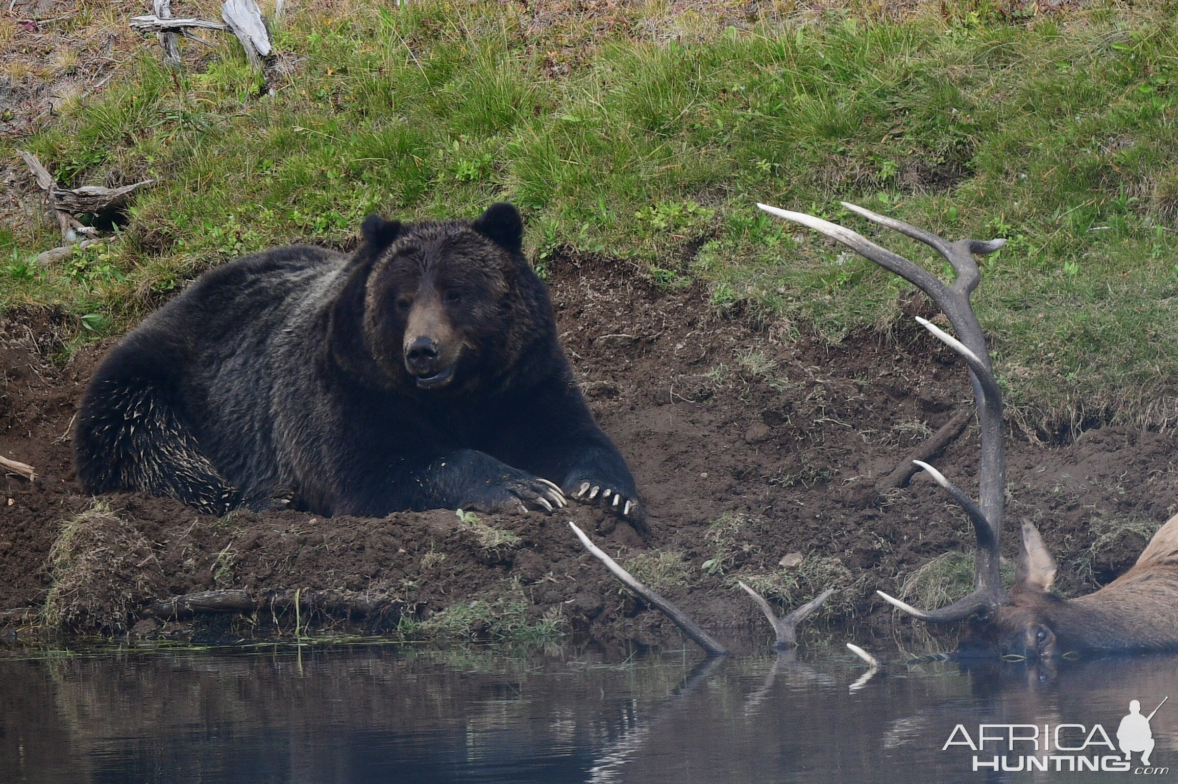 Grizzly takes down bull Elk Yellowstone USA
