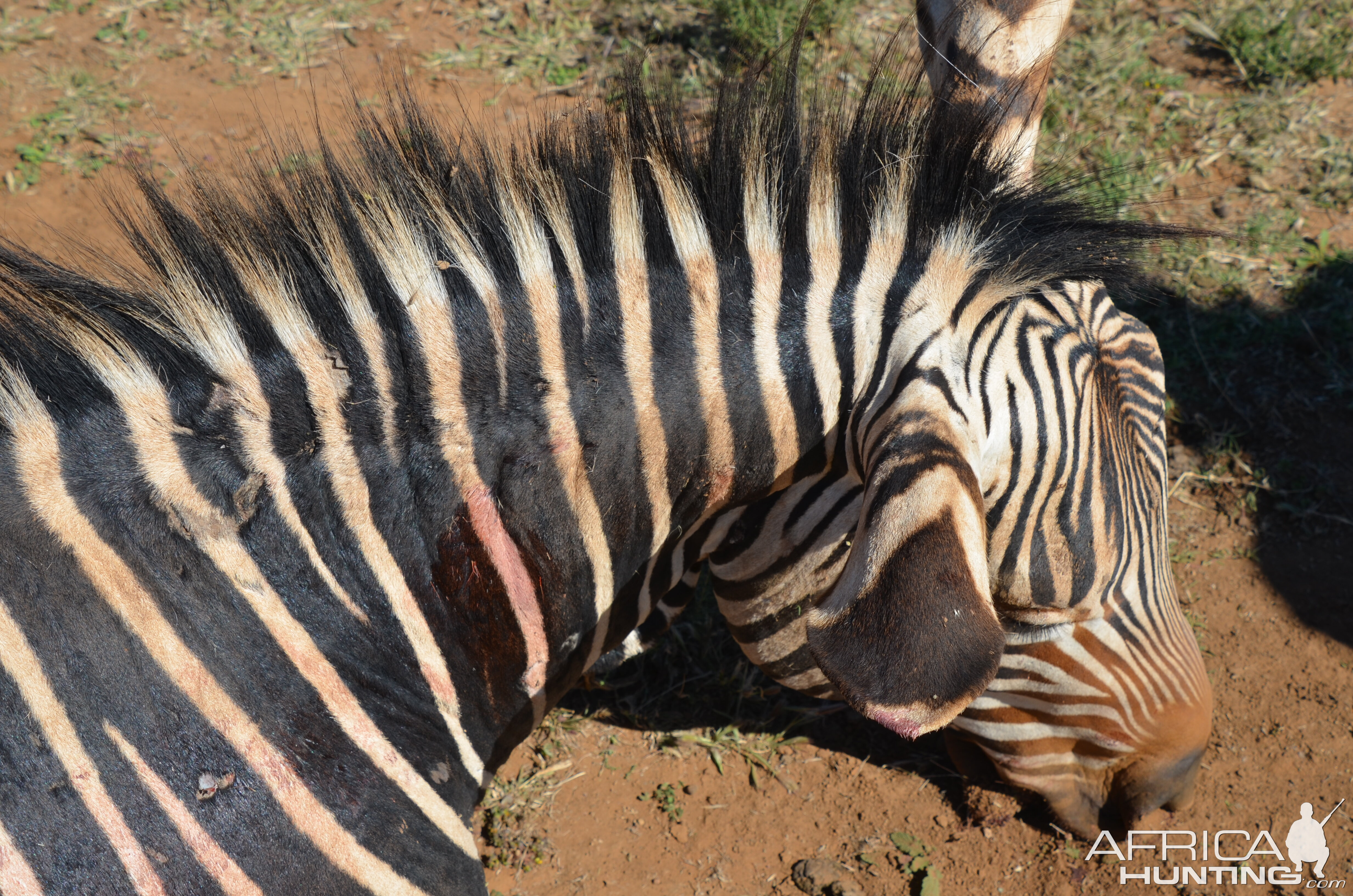Hartmann's Mountain Zebra Hunting South Africa