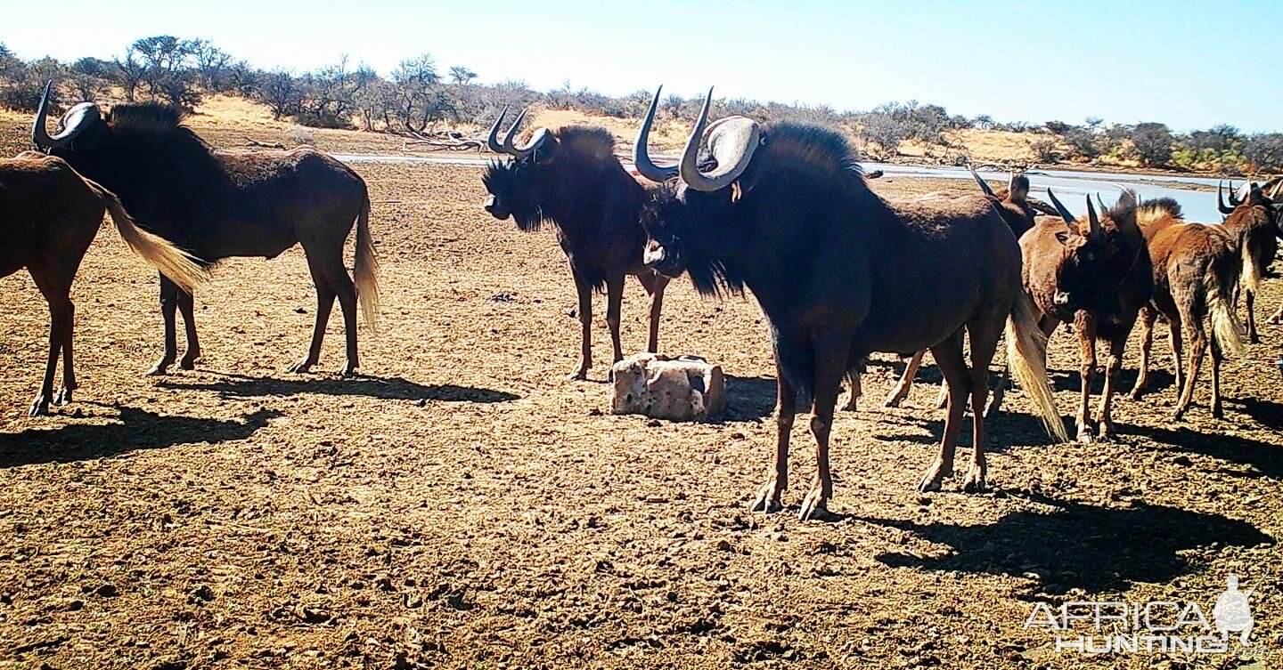 Heavy black wildebeest bull