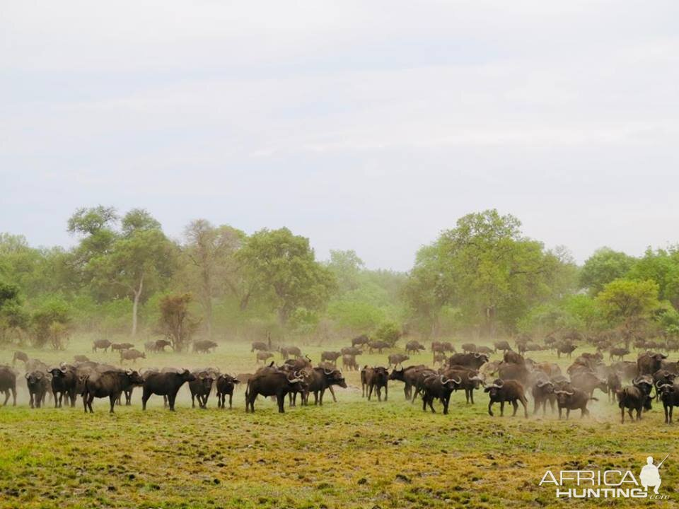 Herd of Cape Buffalo Namibia