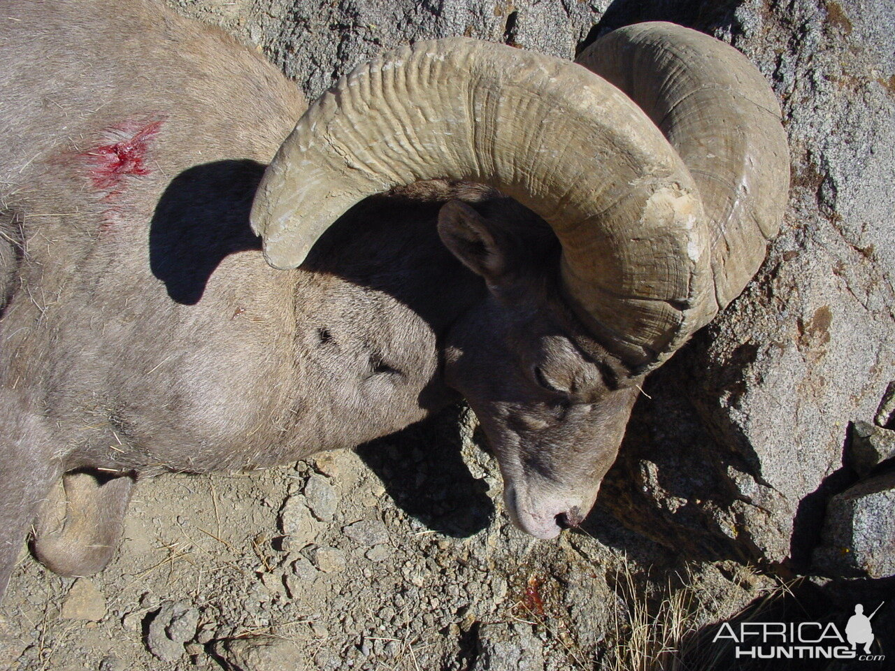 Hunt Desert Bighorn Sheep