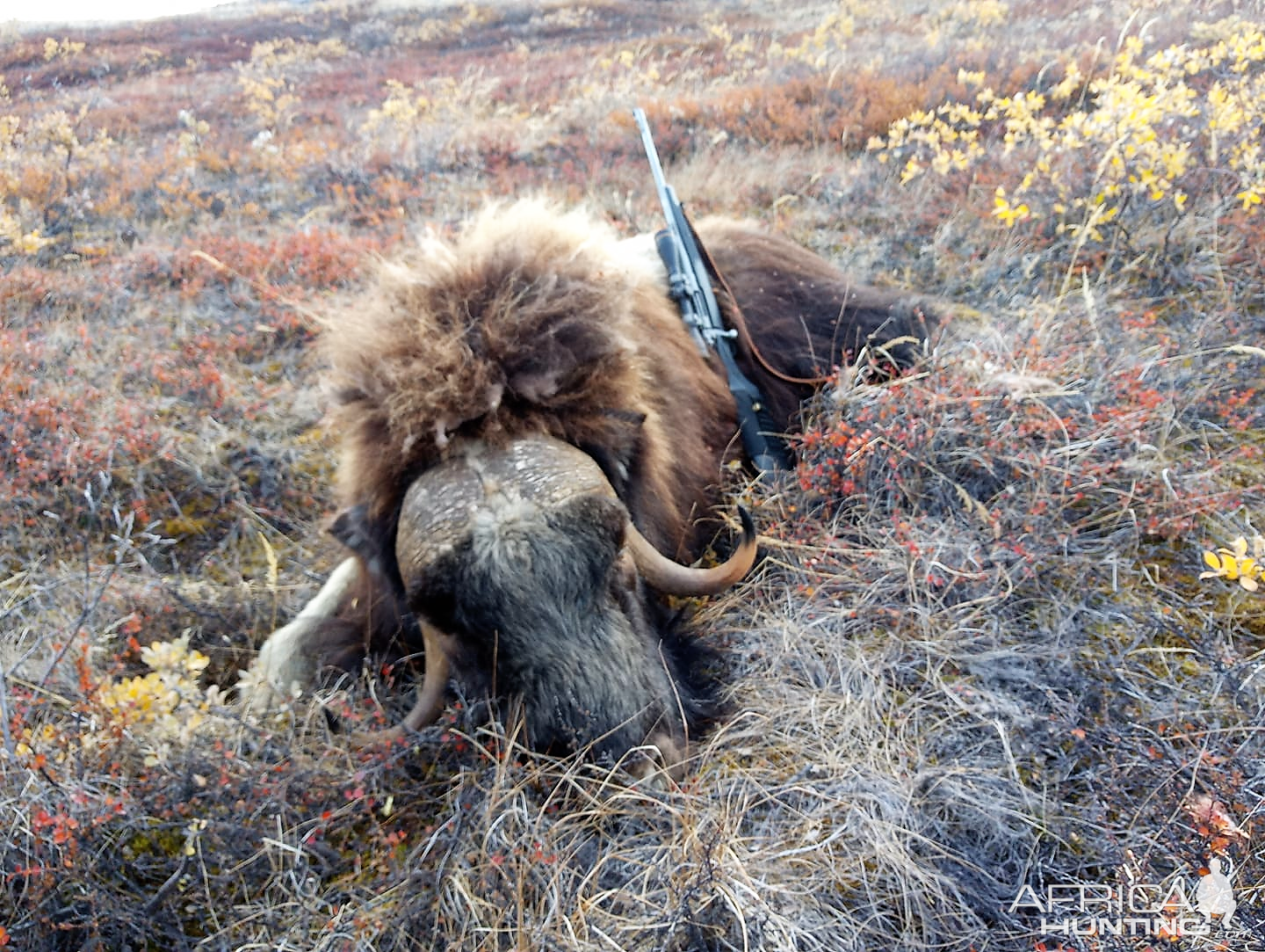 Hunting Muskox in Greenland