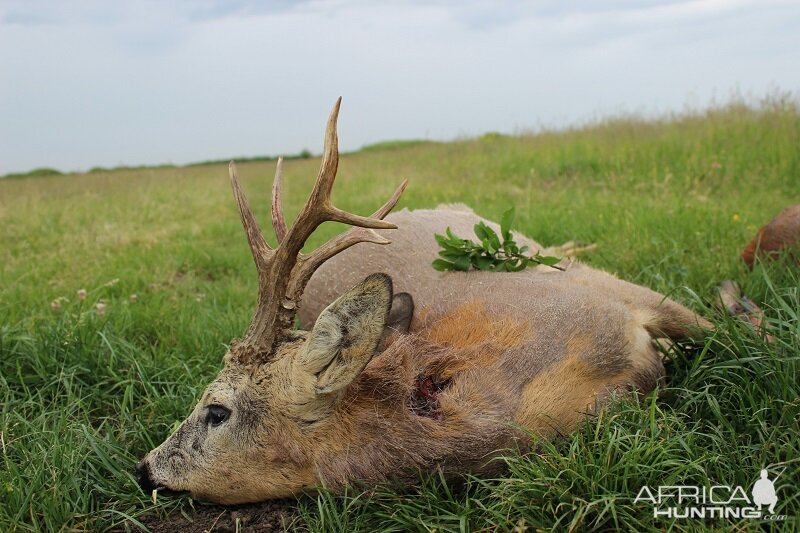 Hunting Roe Deer in Romania