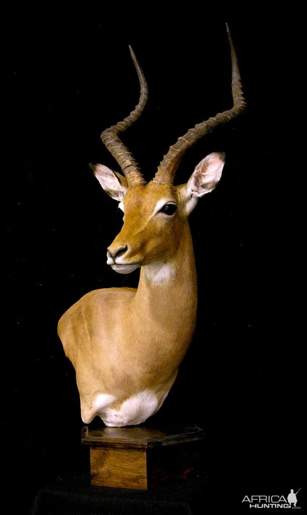 Impala Shoulder Mount Pedestal Taxidermy | Hunting