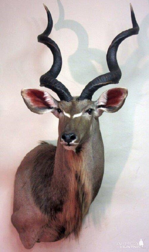 Kudu Shoulder Mount Taxidermy Hunting