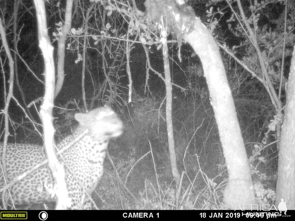 Leopard Trial Cam Pictures Zimbabwe