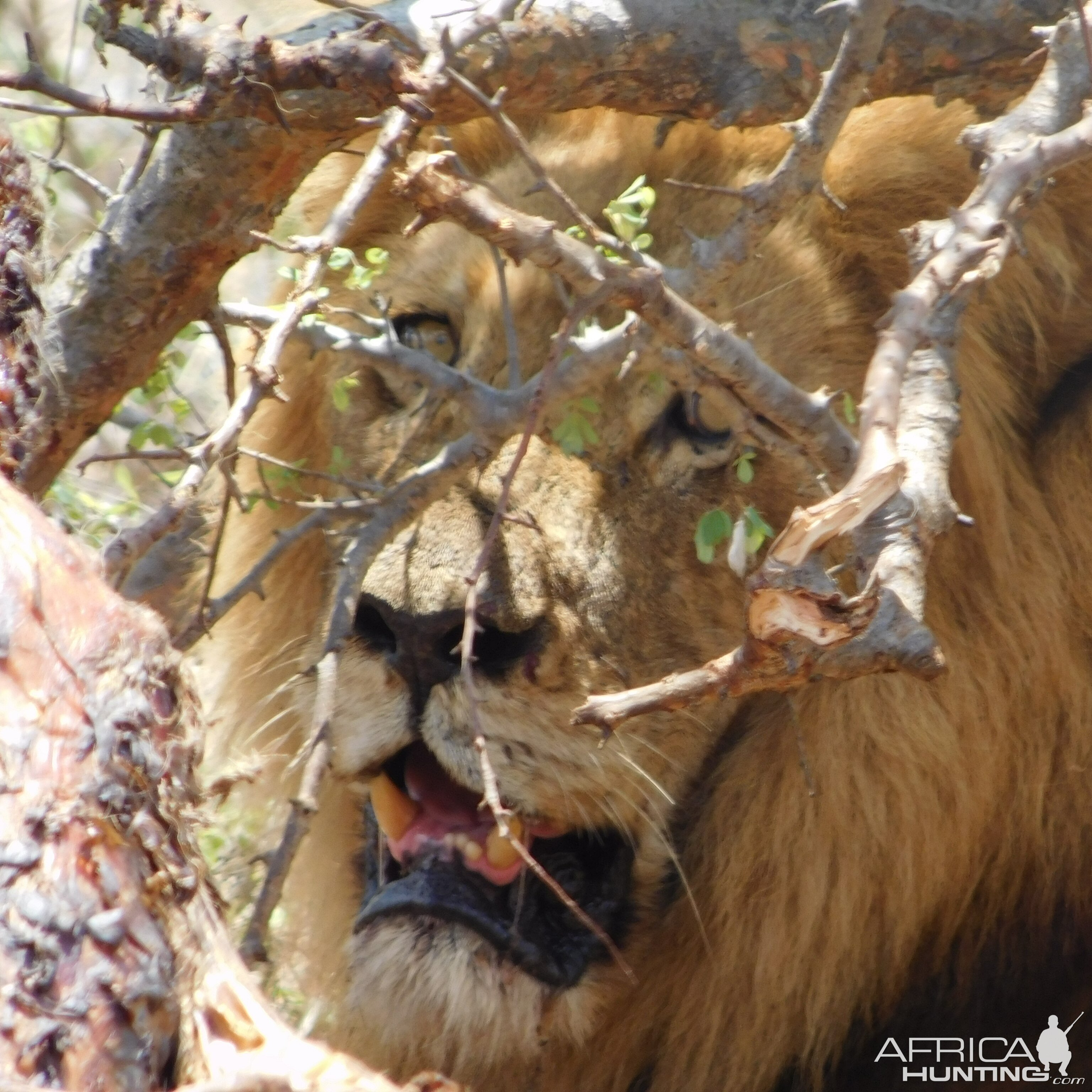 Lion at close range Mozambique
