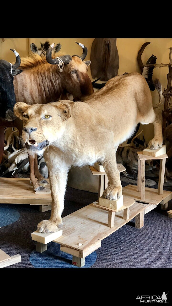 Lioness Full Mount Taxidermy
