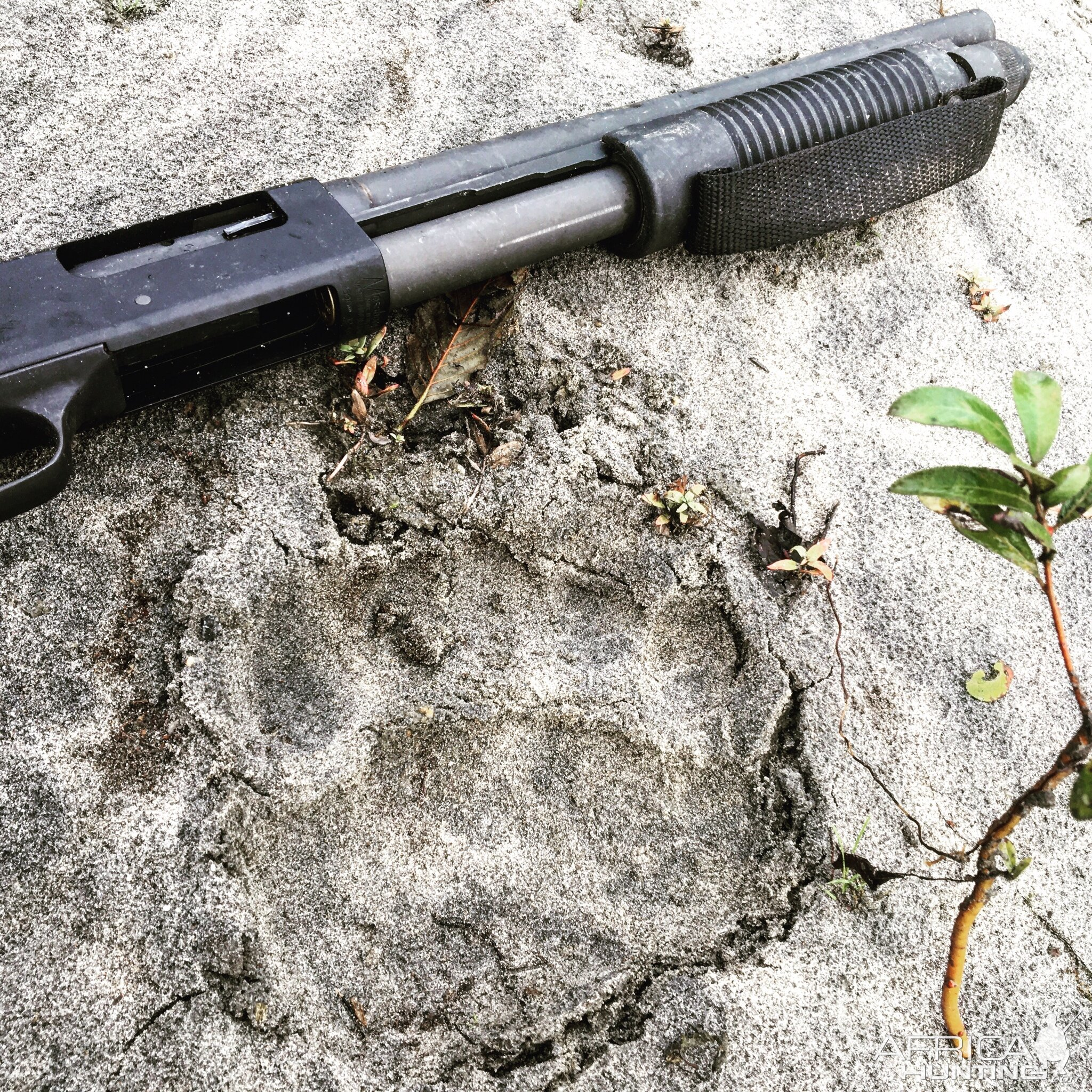 Mossberg 12ga 590A1 14 with the track of a bear