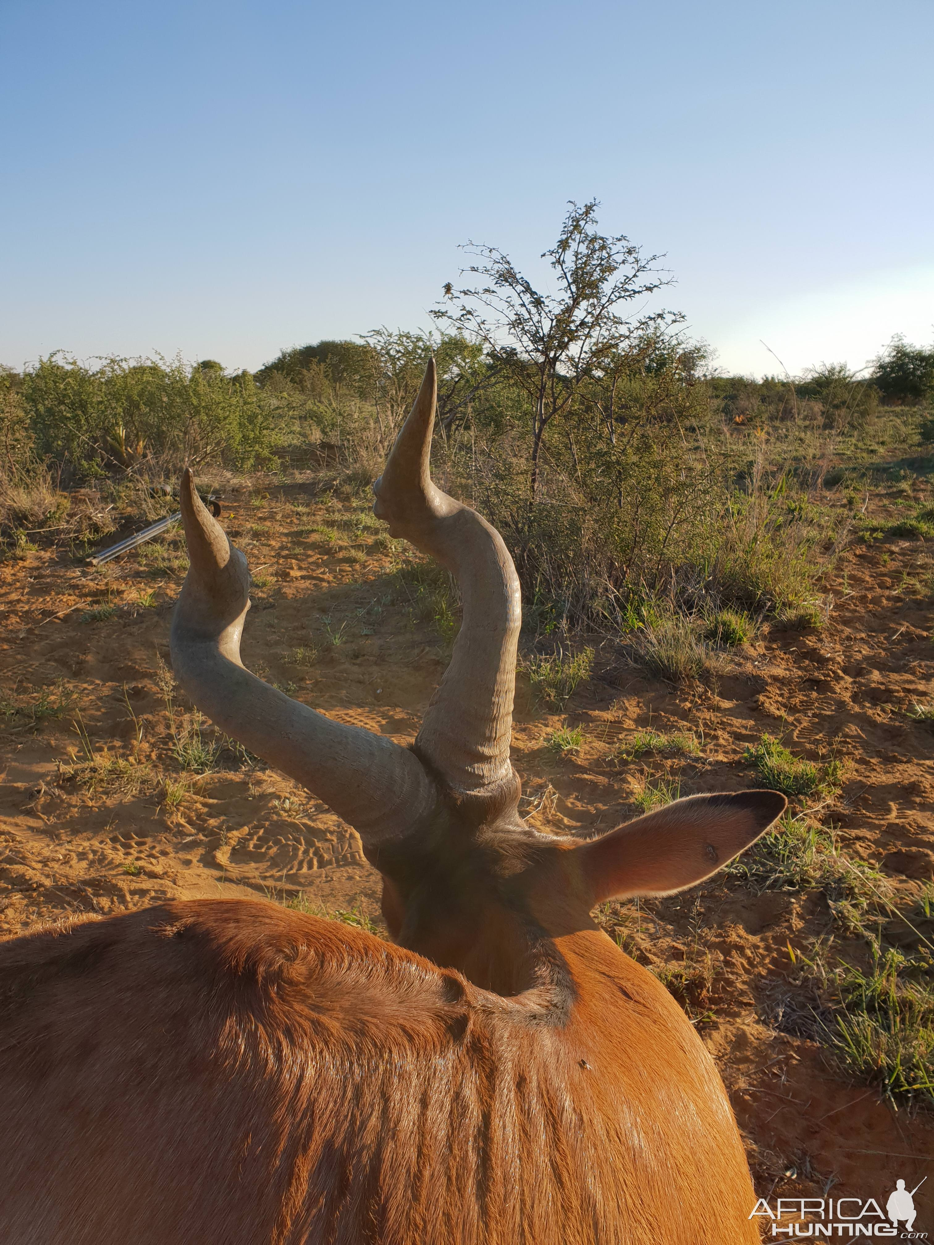 Namibia Hunting Red Hartebeest