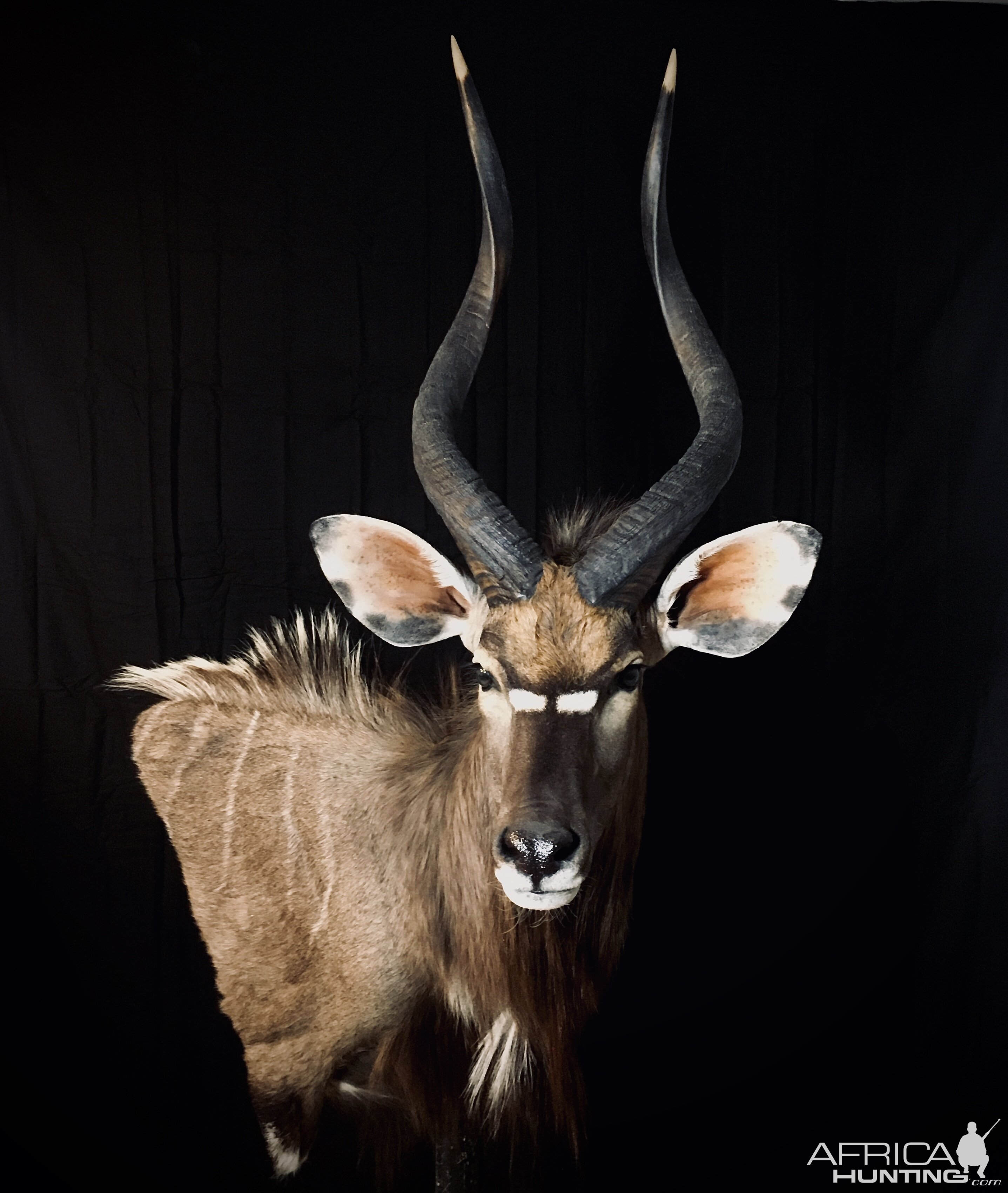 Nyala Shoulder Mount Taxidermy
