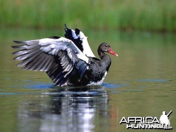 Red-Billed Spur-Winged Goose