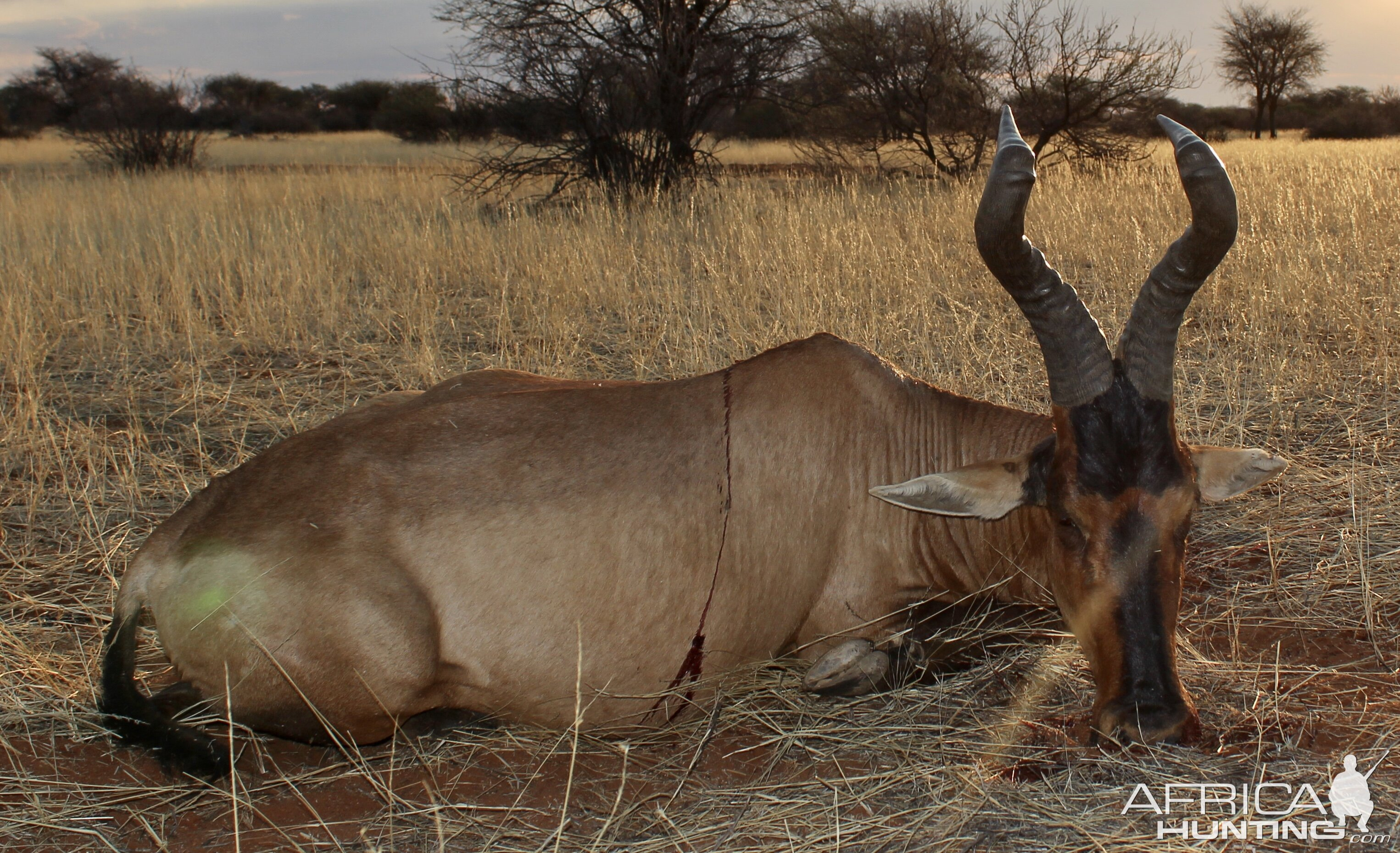 Red Hartebeest Guided by Zana Botes