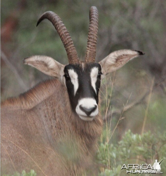 Judging Roan Antelope Hunting