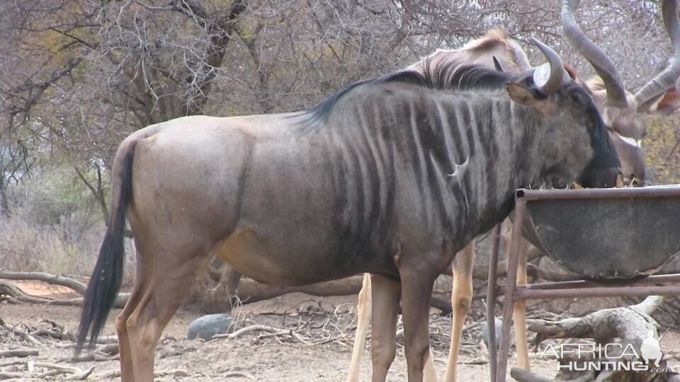 South Africa Blue Wildebeest Bow Hunting