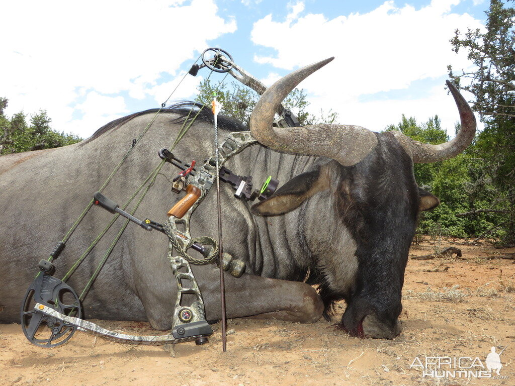 South Africa Bow Hunting Blue Wildebeest