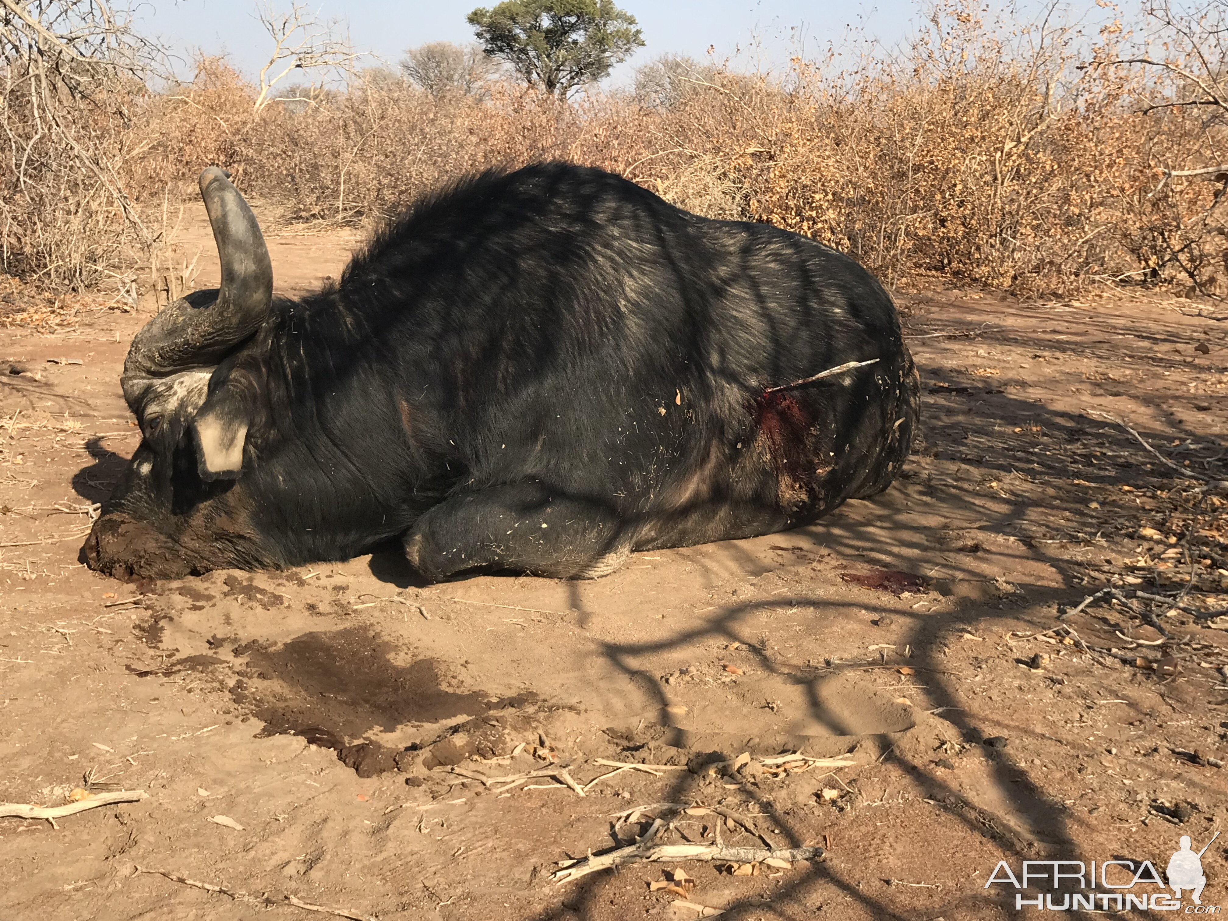 South Africa Bow Hunting Buffalo