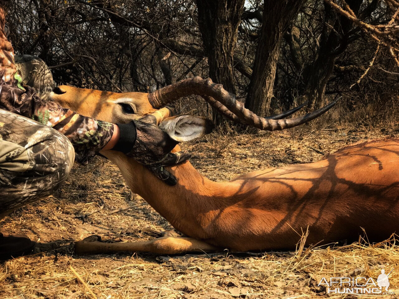 "Southern Impala ""Aepyceros Melampus"" Bowhunting South Africa"