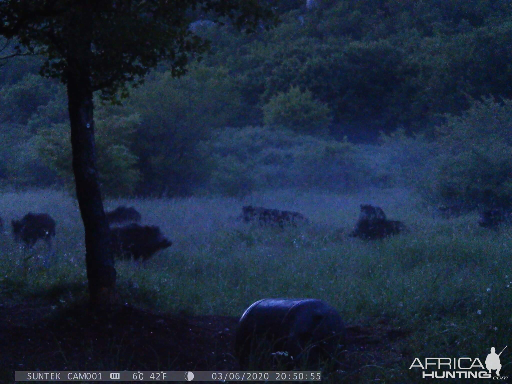 Trail Cam Pictures of Pigs in Croatia Europe