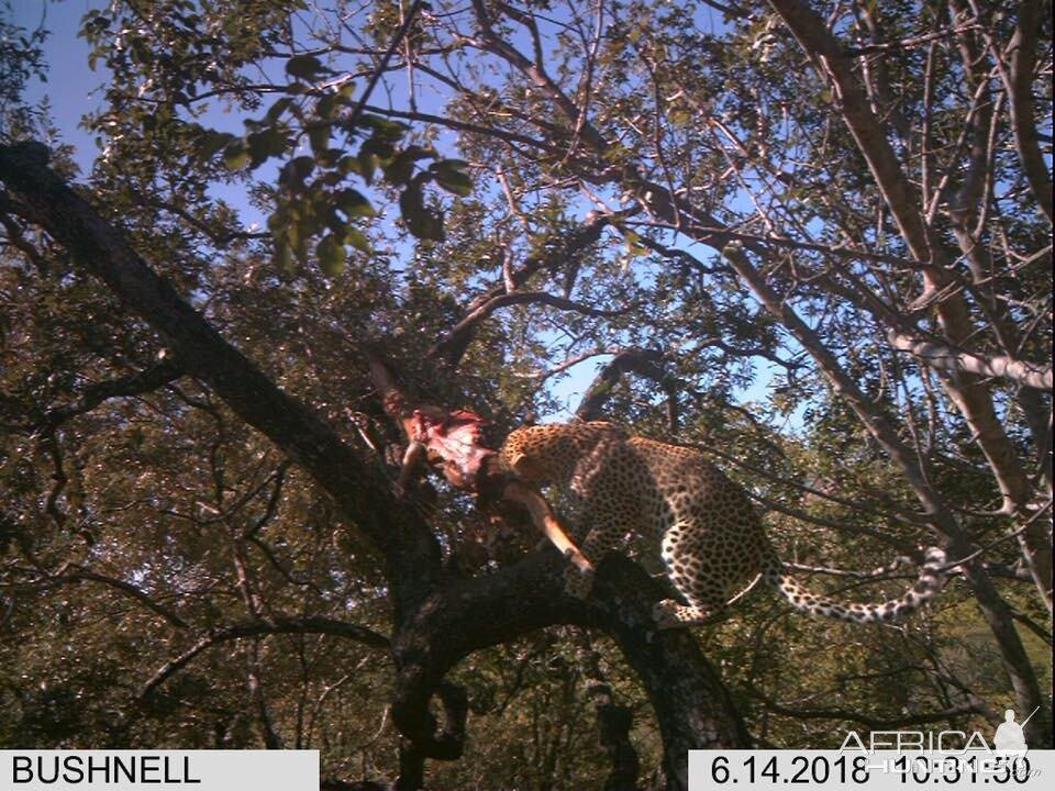 Trail Cam Pictures og Leopard in Zimbabwe