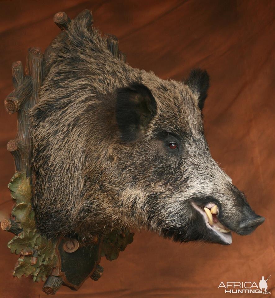 Wild Boar Shoulder Mount Taxidermy | Hunting