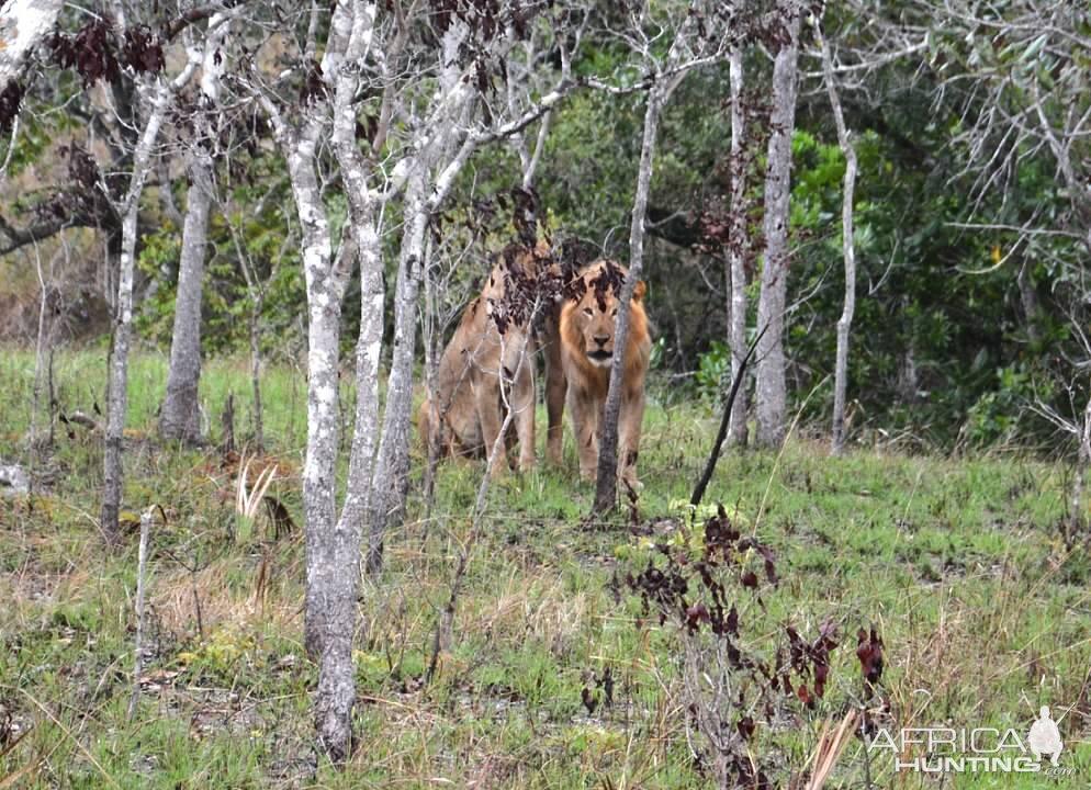 Zambezi Delta Lion
